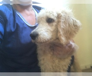 Poodle (Standard) Puppy for sale in PARKER, CO, USA