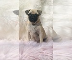 Small Photo #20 Pug Puppy For Sale in CANTON, CT, USA