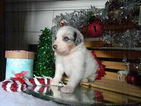 Australian Shepherd Puppy For Sale in OAK HARBOR, WA