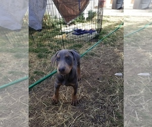 Doberman Pinscher Puppy for sale in WILLIAMSBURG, CO, USA