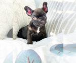 Small Photo #4 French Bulldog Puppy For Sale in CORONA, CA, USA