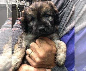 Catalan Sheepdog Puppy for Sale in DRAPER, Utah USA