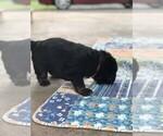 Small #5 Tibetan Mastiff