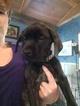 Mastiff Puppy For Sale in TOWNSEND, DE, USA