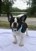 French Bulldog Puppy For Sale near 02920, Cranston, RI, USA