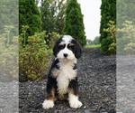 Puppy 10 Miniature Bernedoodle