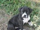 Puppy 4 Boxer