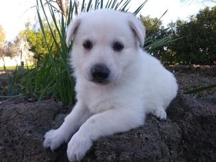 German Shepherd Dog Puppy For Sale near 96021, Corning, CA, USA