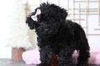 Shelby Female Yorkie Poo Puppy