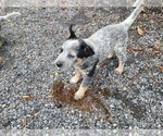 Puppy 0 Australian Cattle Dog