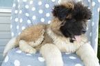 Akita Puppy For Sale in HONEY BROOK, Pennsylvania,