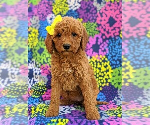 Goldendoodle-Poodle (Miniature) Mix Puppy for sale in GLEN ROCK, PA, USA
