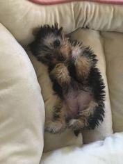 Yorkshire Terrier Puppy for sale in ORLANDO, FL, USA