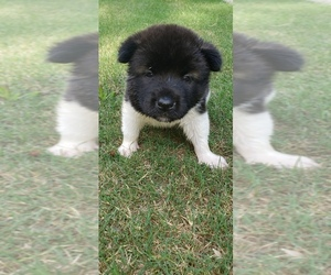 Akita Puppy for Sale in MEM, Tennessee USA