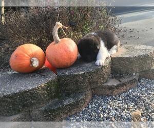 Akita Puppy for sale in DALTON, OH, USA