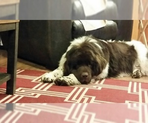 Father of the Newfoundland puppies born on 03/18/2019