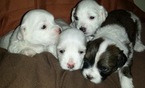 Havallon Puppy For Sale in DULUTH, GA