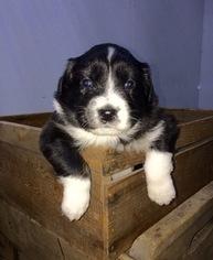 Australian Shepherd Puppy For Sale in ROBERTS, IL