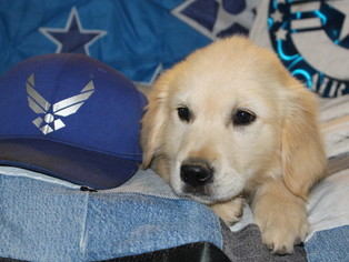Golden Retriever Puppy For Sale near 92371, Phelan, CA, USA