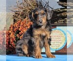 Small #3 Aussiedoodle