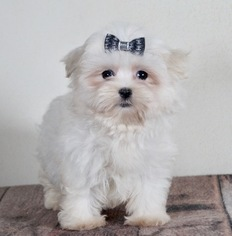Morkie Puppy For Sale in WARSAW, IN, USA