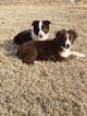 Miniature Australian Shepherd Puppy For Sale in FORT MORGAN, CO