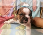 Small #9 English Bulldog