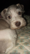 Schnauzer (Miniature) Puppy For Sale in DACULA, GA, USA