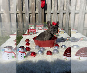 French Bulldog Puppy for Sale in COOPER CITY, Florida USA