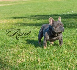 Father of the French Bulldog puppies born on 12/09/2018