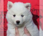 Small #2 Alaskan Klee Kai