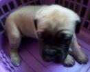 Mastiff Puppy For Sale in WARREN, MA