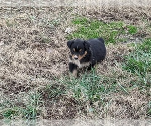 Miniature Australian Shepherd Puppy for sale in LOCUST, NC, USA