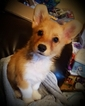 Pembroke Welsh Corgi Puppy For Sale in ARLINGTON, WA, USA