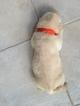 Labrador Retriever Puppy For Sale in WINTER GARDEN, FL