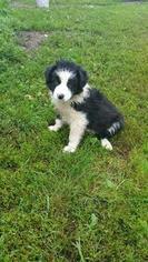 Border-Aussie Puppy For Sale in JORDAN, MN, USA
