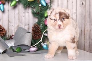 Australian Shepherd Puppy For Sale in MOUNT VERNON, OH