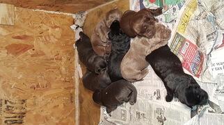 Labrador Retriever Puppy For Sale in AUSTIN, TX