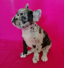 French Bulldog Puppy for sale in NORCROSS, GA, USA
