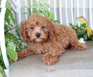 Medium Cavalier King Charles Spaniel-Poodle (Toy) Mix