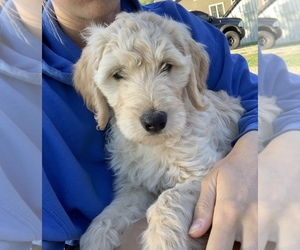Goldendoodle Puppy for Sale in KINGSVILLE, Missouri USA