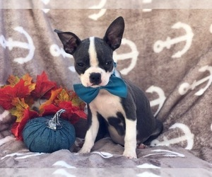 Boston Terrier Dog for Adoption in CEDAR LANE, Pennsylvania USA