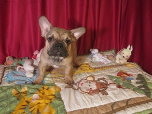French Bulldog Puppy For Sale in ELLIJAY, GA, USA
