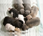 Small Photo #2 French Bulldog Puppy For Sale in GRAHAM, WA, USA