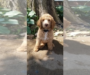 Poodle (Standard) Puppy for sale in CANNON FALLS, MN, USA