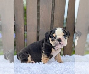 Bulldog Puppy for sale in BETHESDA, MD, USA