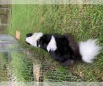 Small #32 Border Collie Mix