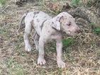 Great Dane Puppy For Sale in WINFIELD, KS