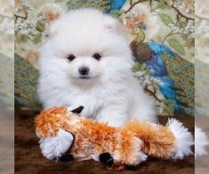 Pomeranian Dogs for adoption in JACKSONVILLE, FL, USA