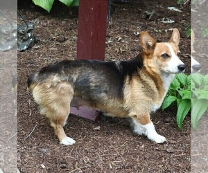 Mother of the Pembroke Welsh Corgi puppies born on 06/21/2019